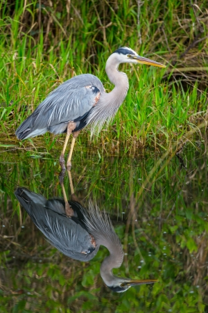 Great blue Heron in Everglades NP,Florida Stock Photo