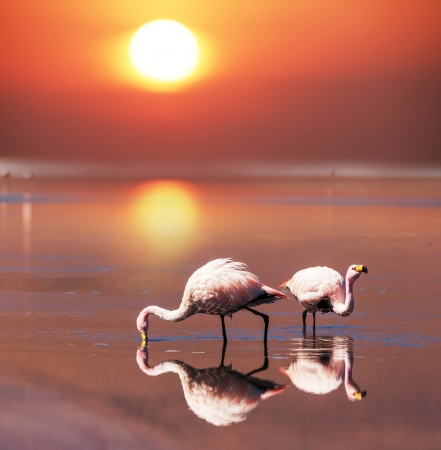 flamingo in Bolivia Stock Photo - 19682554