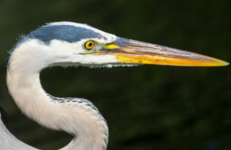 np: Great blue Heron in Everglades NP,Florida Stock Photo