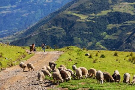 sheep warning: Sheeps in Bolivia