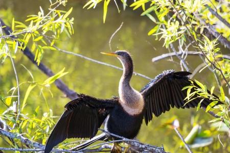 aquatic bird:  Cormorant bird ,Everglades NP,Florida