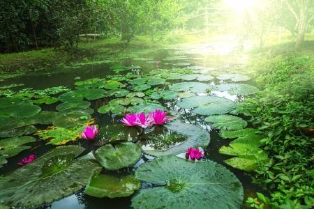 pink lily: Lotus