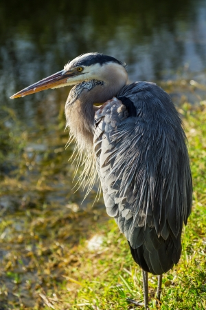 great blue heron: Great blue Heron in Everglades NP, Florida Stock Photo