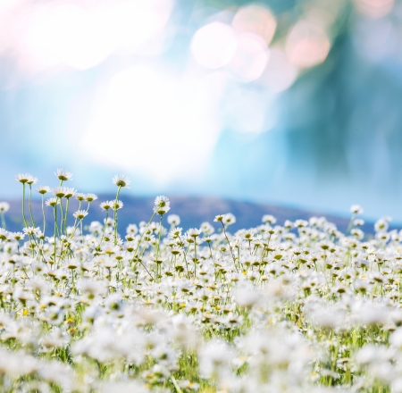 spring flowers: Chamomile