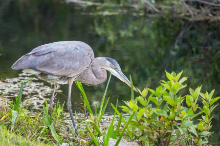 Great blue Heron in Everglades NP,Florida photo