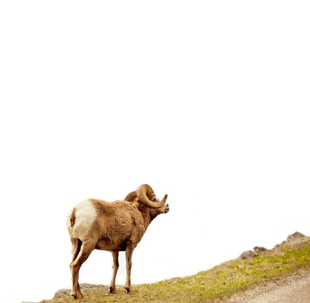 Rocky Mountain Big-Horned sheep, Canada photo