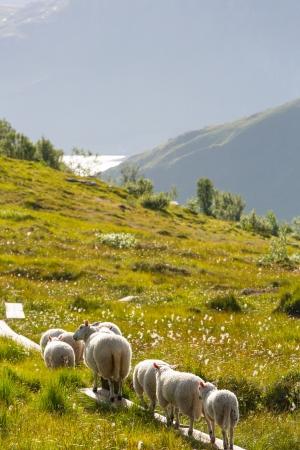 Ovejas en Noruega Foto de archivo - 21746478