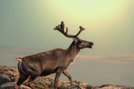 stag horn: raindeer in Norway