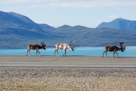 caribou: raindeer in Norway