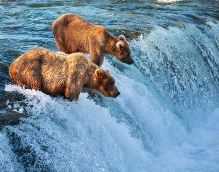 アラスカのヒグマ 写真素材