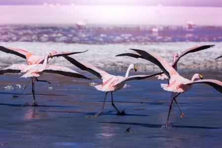 swarm: flamingo in Bolivia