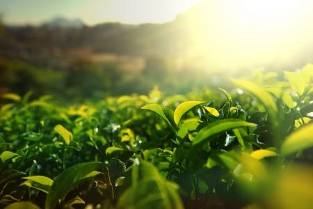 차 농장 스톡 콘텐츠 - 23379035
