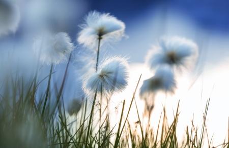 Arctiques fleurs coton Banque d'images - 23486715