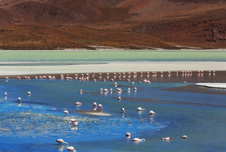 flamingo in Bolivia photo