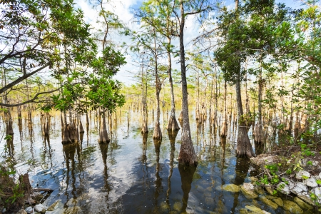 cypress tree: Bald Cypress Trees  in a florida swamp