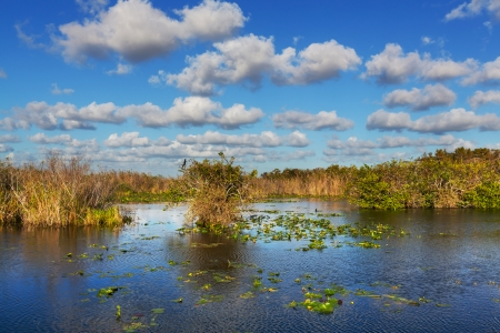 Bald Cypress Trees  in a florida swamp photo