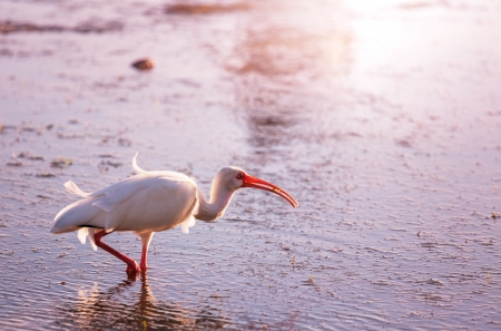 White Ibis  in a Shallow Pond - Florida Imagens