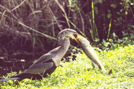 everglades national park: American Anhinga ,Everglades National Park
