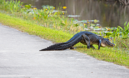 Alligator in Florida photo