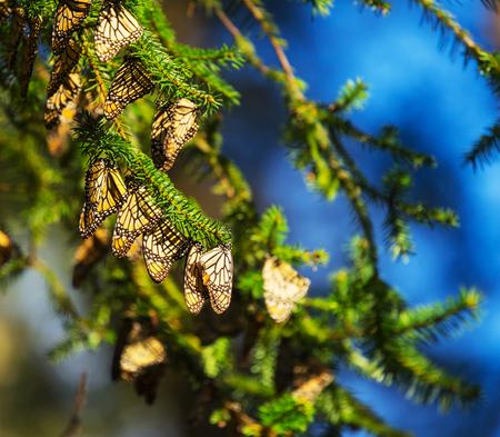 ocampo: Monarch Butterfly colony in Mexico
