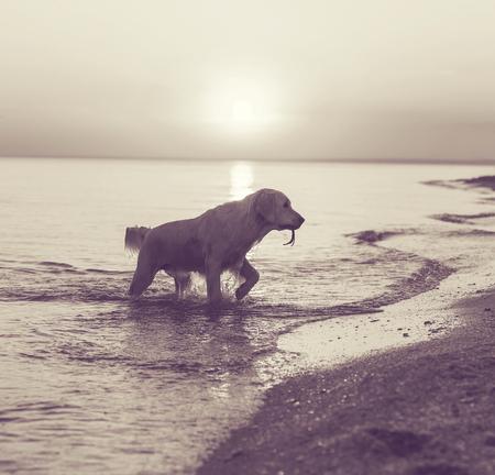 yellow lab: dog on beach