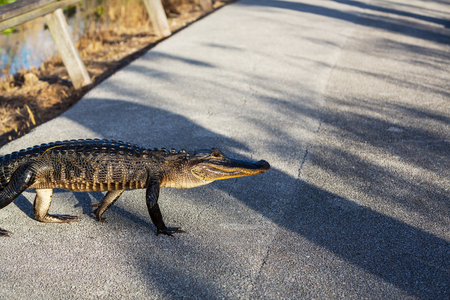 everglades national park: Alligator in Florida