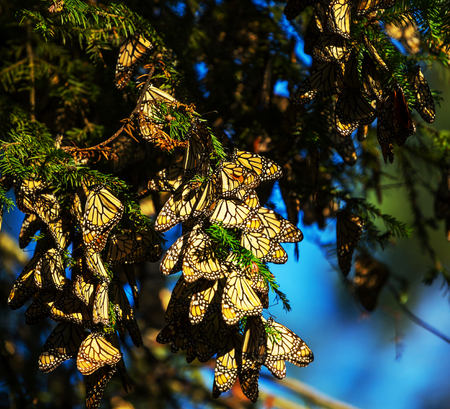sanctuary: Monarch Butterfly colony in Mexico