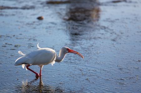White Ibis  in a Shallow Pond - Florida Stock Photo