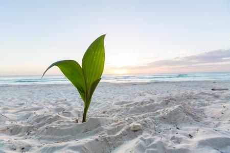 coconut seedlings: small palm tree on beach