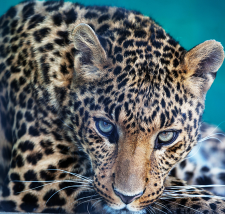 Leopard closeup photo