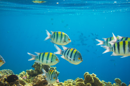 reefscape: Coral fish in  Red Sea,Egypt