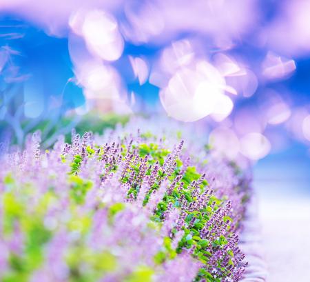 wild mint: mint flowers