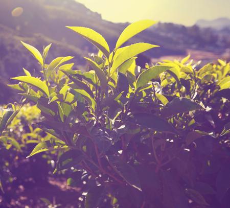 tea plantations: Tea plantation Stock Photo