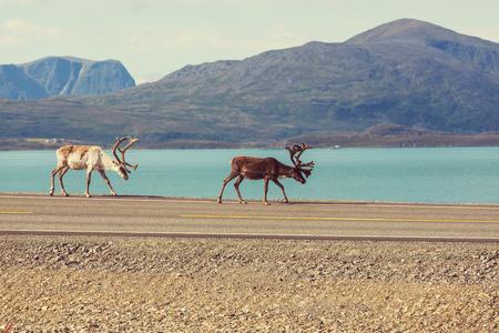 reindeer in Norway photo