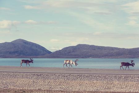 lapland: reindeer in Norway Stock Photo