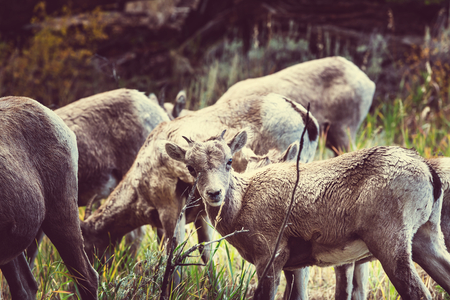Wild goat in Yellowstone National Park,USA photo