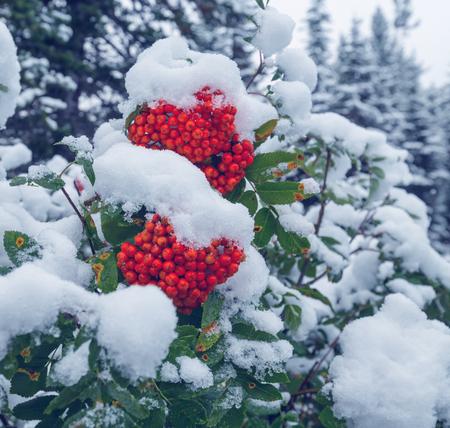 赤い冷凍ナナカマドの果実 写真素材