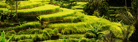 paddy fields: Rice terrace in Indonesia
