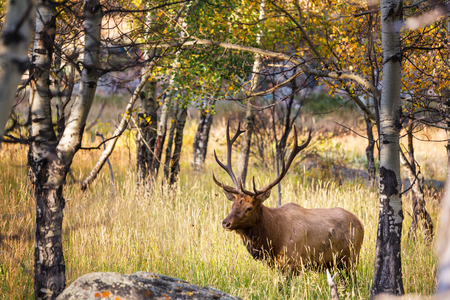 np: deers in Rocky Mountains NP,USA