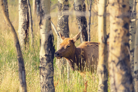 np: elk in Rocky Mountains NP,USA Stock Photo