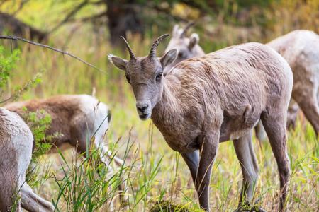 wild goat: Cabra salvaje en el parque nacional de Yellowstone, EE.UU.