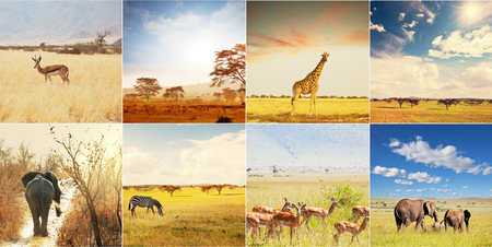 animal in the wild: african safari collages