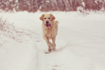 labrador christmas: dog in winter forest