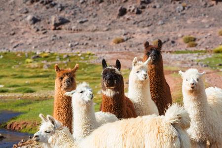 llama: Llama in Argentina