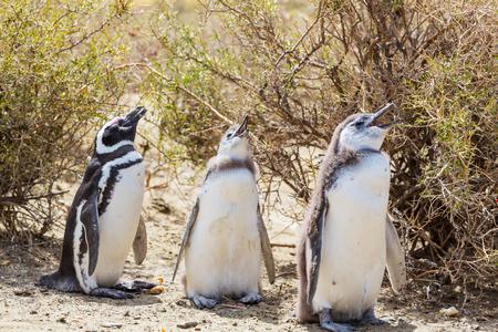 patagonia: Magellanic Penguin (Spheniscus magellanicus) in Patagonia