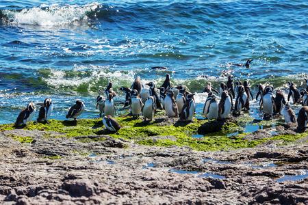 penguin colony: Magellanic Penguin (Spheniscus magellanicus) in Patagonia