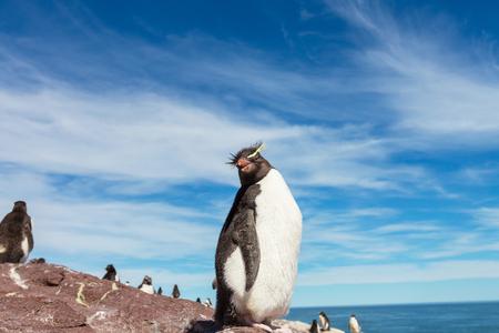 Rockhopper penguin in Argentina photo