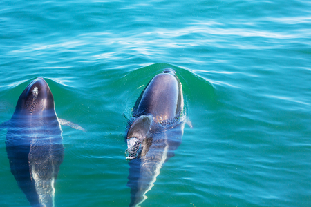 deep south: Dolphin in ocean,Argentina