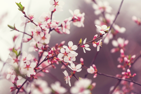 blossoming: Blossoming cherry