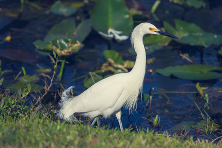 Everglades national park: Snowy egret in Everglades National Park, Florida.